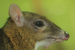 Javan mouse deer Royalty Free Stock Photo