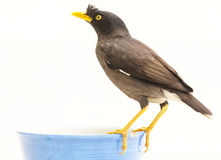 Javan myna Royalty Free Stock Photos