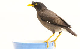 Javan myna Royalty Free Stock Images