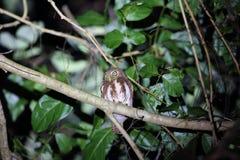 Javan owlet Zdjęcia Stock