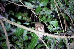 Javan owlet Obrazy Royalty Free