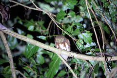 Javan owlet Royalty Free Stock Images