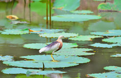 Javan Pond Heron Royalty Free Stock Photography