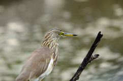 Javan Pond Heron (Ardeola speciosa) Royalty Free Stock Image