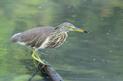 Javan Pond Heron (Ardeola speciosa) Stock Images