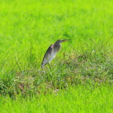 Javan Pond Heron Royalty Free Stock Photos