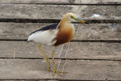 Javan Pond heron. (Ardeola speciosa Stock Photos