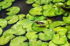 Free Javan Pond Heron (Ardeola Speciosa) Between Lilypad Leaves Royalty Free Stock Images - 78107329