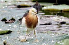Javan Pond heron Ardeola speciosa Royalty Free Stock Photo