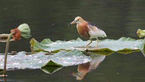 Javan Pond Heron Ardeola speciosa Birds of Thailand stock video footage