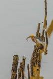 Javan Pond-Heron(Ardeola speciosa) Stock Photography