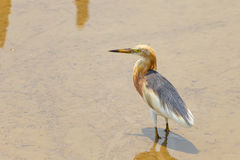 Javan Pond-Heron(Ardeola speciosa) Stock Photography