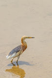 Javan Pond-Heron(Ardeola speciosa) Royalty Free Stock Image