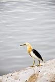 Javan Pond heron (Ardeola speciosa) in waterfront Tha Chin River. Thailand Stock Image