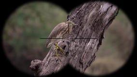 Javan pond heron bird ardeola speciosa seen through binoculars. Bird watching at wildlife safari. Shot with a Sony RX10 IV fps 59,94 FHD stock video footage