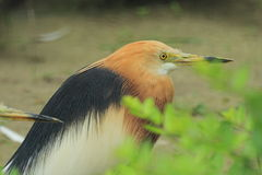 Javan pond heron Royalty Free Stock Photo