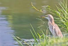 Javan pond heron Stock Photos
