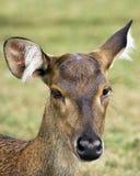 Javan rusa deer. Javan rusa or Sunda sambar (Rusa timorensis) deer, female Royalty Free Stock Photos