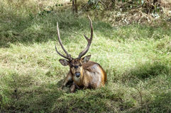 Javan rusa deer. (Rusa timorensis) , male, resting on the meadow after fighting with another buck Stock Photography