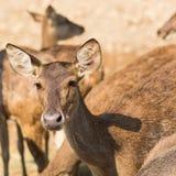 Javan rusa deer Stock Image
