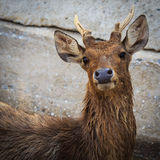 Javan rusa deer Royalty Free Stock Image