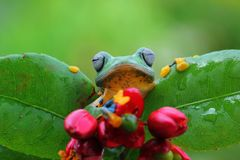 Flying frog on green leaves, javan tree frog, tree frog royalty free stock photography