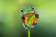 Javan tree frog ready to jump. Javan tree frog are ready to jump the dangling that is in front of himn Royalty Free Stock Images