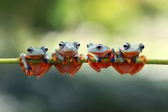 Javan tree frog sitting on branch. Four Javan tree frog are cool sitting together in the stalk Royalty Free Stock Image