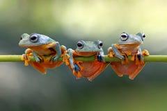 Javan tree frog sitting on branch. Three Javan tree frog are cool sitting together in the stalk Royalty Free Stock Photos