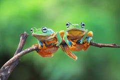 Javan tree frog sitting on branch. Two Javan tree frog sitting on branch Royalty Free Stock Photography