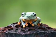 Tree fog, flying frog, frogs, javan tree frog. Javan tree frog on wood Stock Photo