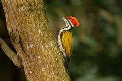 Javanense comum de Flameback - de Dinopium - ou Goldenback é um pássaro no Picidae da família, encontrou em Bangladesh, Brunei Da fotos de stock