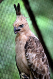 Javanese eagles Royalty Free Stock Images