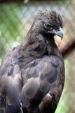 Javanese eagles Stock Image
