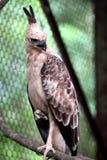 Javanese eagles Royalty Free Stock Photo