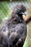 Javanese eagles Stock Image