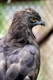 Javanese eagles Royalty Free Stock Photo