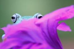 Beautiful javan tree frog on flower. Javanese frogs hide behind purple flowers Royalty Free Stock Images