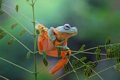 Beautiful javan tree frog on branch. Javanese frogs lonely on branch Stock Photos