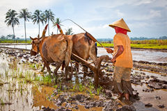 Javanese paddy farmer plows the fields the traditional way Stock Photography