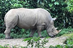 Javanese rhino royalty free stock photography
