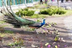 Javanesepåfågel under para ihopperioden Arkivfoto