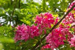 Javanica de la casia (Apple florece el árbol del árbol, rosado y blanco de la ducha) Imagen de archivo libre de regalías