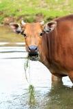 Javanicus быка banteng Стоковое фото RF