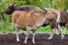 Javanicus быка banteng Javan Стоковая Фотография