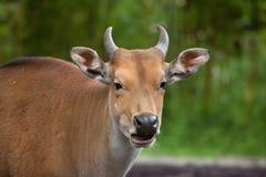 Javanicus быка banteng Javan Стоковые Фотографии RF