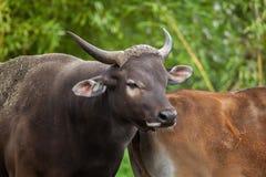 Javanicus быка banteng Javan Стоковые Фото
