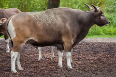 Javanicus быка banteng Javan Стоковое Изображение
