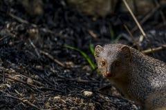 Javanicus asiático pequeno do mangusto ou do Herpestes fotografia de stock