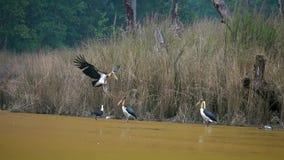Javanicus de Lesser Adjutant Bird Leptoptilos en naturaleza almacen de video
